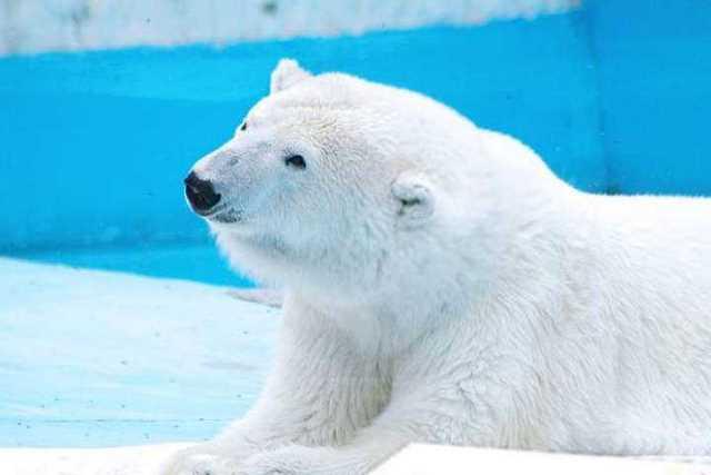 Yupik-oso-polar