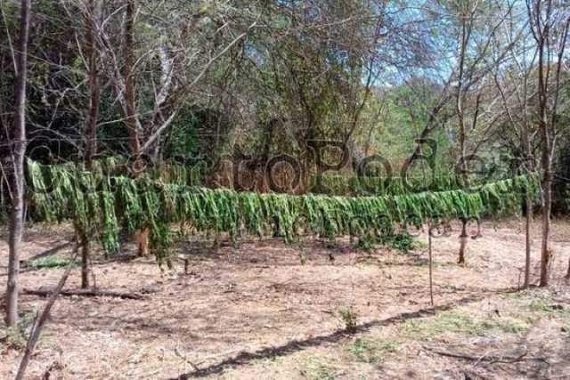 plantio-de-marihuana-3