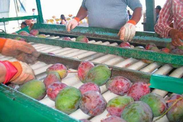 produccion-mango