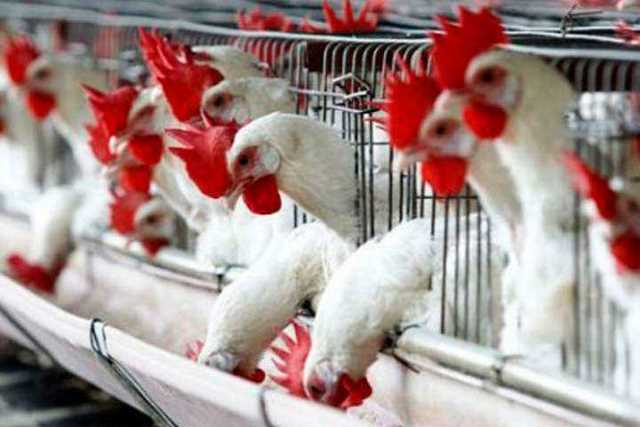 gallinas-gripe-aviar